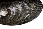 Atlantic ribbed mussel by Edna W. Lawrence Nature Lab