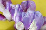 beach pea flower by Edna W. Lawrence Nature Lab