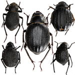 darkling beetles by Edna W. Lawrence Nature Lab