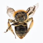 bee by Edna W. Lawrence Nature Lab