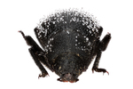 darkling beetle by Edna W. Lawrence Nature Lab