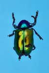 dogbane beetle by Edna W. Lawrence Nature Lab