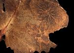 Australian burnt leaf 3 by Edna W. Lawrence Nature Lab