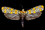 Alianthus webworm moth by Edna W. Lawrence Nature Lab