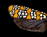 Alianthus webworm moth wing by Edna W. Lawrence Nature Lab