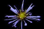 aster by Edna W. Lawrence Nature Lab