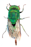 cuckoo wasp by Edna W. Lawrence Nature Lab