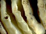 whelk eggcase by Rachel Atlas and Edna W. Lawrence