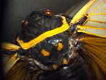 Cicada by Shalini Shaoo and Edna W. Lawrence